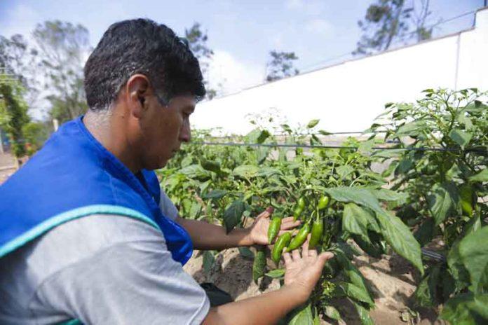 Cultivo de ají en biohuerto