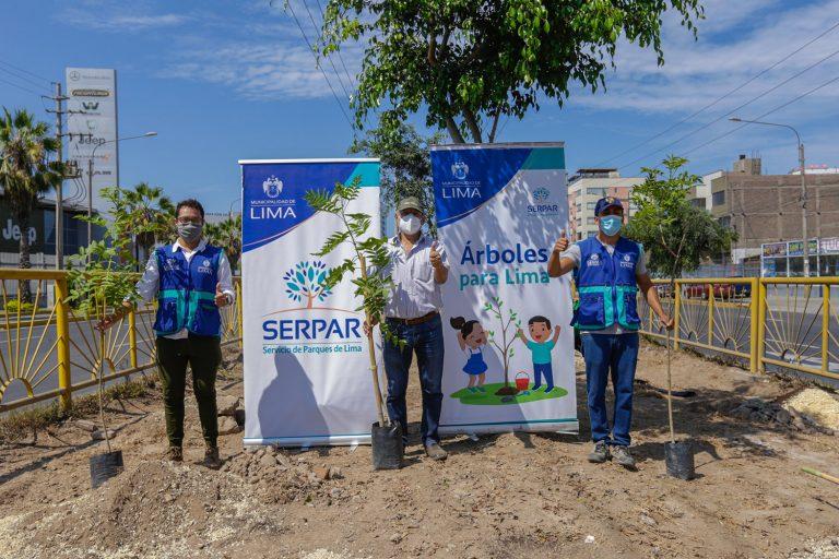 Serpar plantó 400 árboles en la Av. Nicolás Arriola en La Victoria
