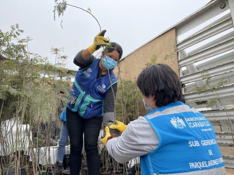 Iniciamos la plantación de 2,000 árboles en Carabayllo